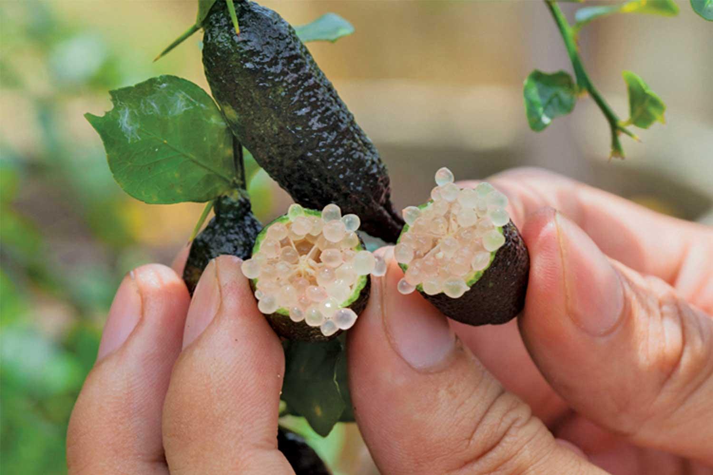 citron caviar sur arbuste